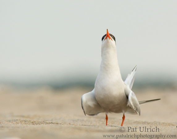 Head-on view of a common tern in Massachusetts