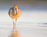 Willet on Bunche Beach at sunrise