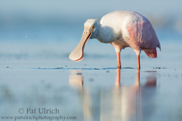 Feeding roseate spoonbill splashes water at Bunche Beach