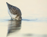 Sanderling feeding after sunset