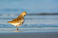 Dunlin preening in the sand