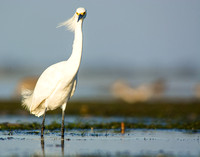 Snowy egret in a sea breeze
