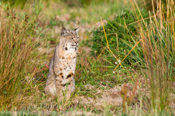 Photograph of a bobcat in California looking to the side