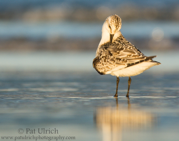 Sanderling preening at sunset in Parker River NWR