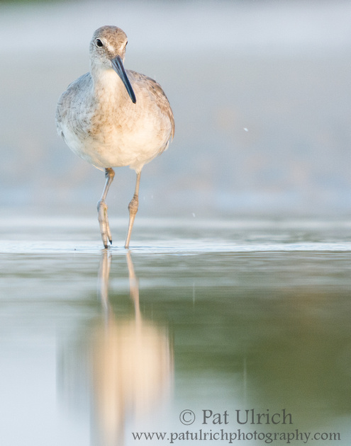 Early morning willet at Bunche Beach, Fort Myers