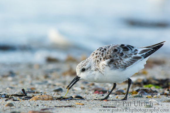Sanderling picking through the wrack at Plymouth Beach, Massachusetts