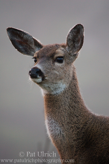 Photograph of a mule deer doe on the alert