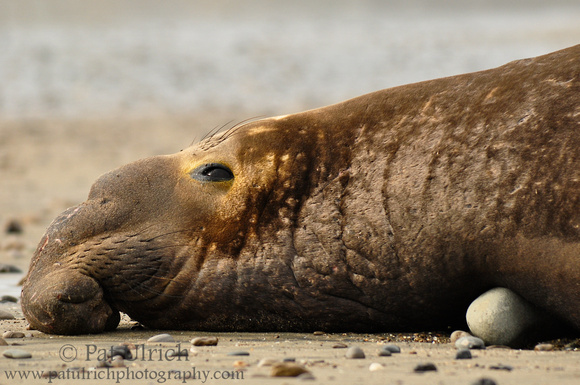Photograph of a northern elephant seal relaxing on the beach