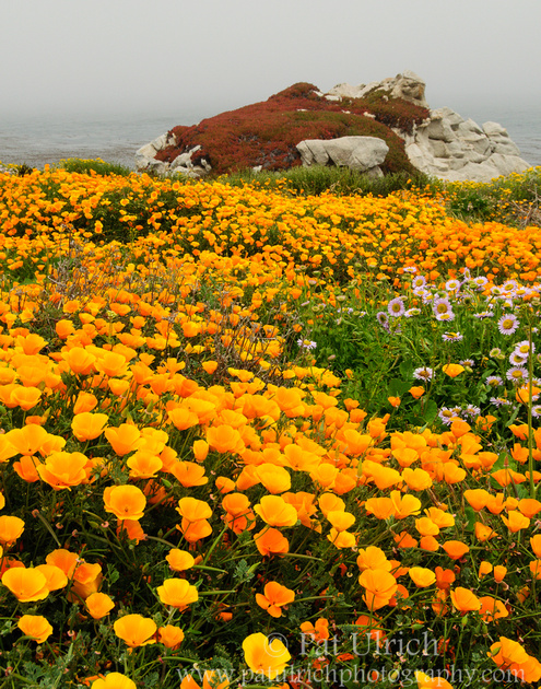 A carpet of poppies in Point Lobos State Reserve