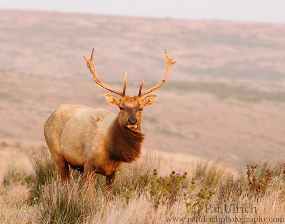 Windblown tule elk at sunset, Point Reyes National Seashore