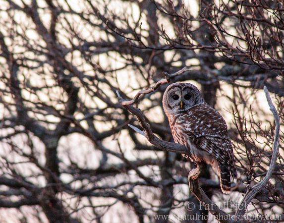 Barred owl in Parker River National Wildlife Refuge