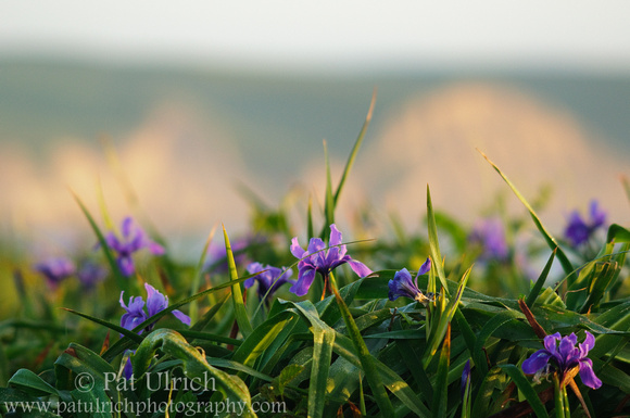 Photograph of wild irises and sandstone bluffs in Point Reyes