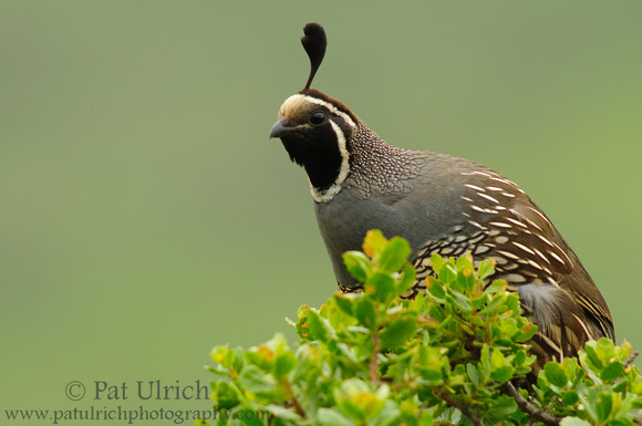 Photograph of a California quail with attitude