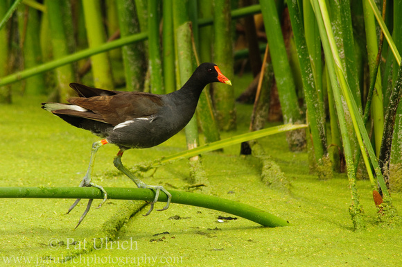 Common Moorehen standing on a branch above a pond covered in duck weed