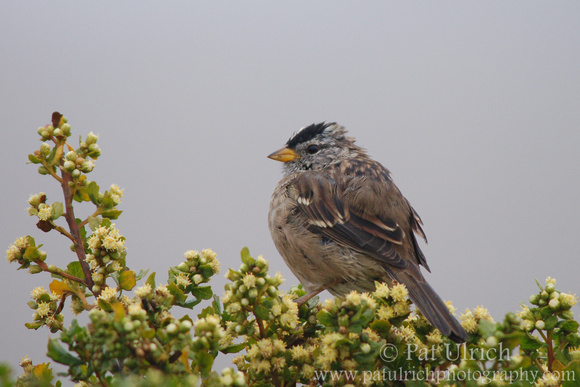 White-crowned sparrow in Point Reyes National Seashore