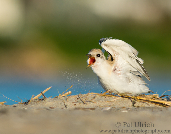 Photograph of a hungry least tern chick calling out to its parents