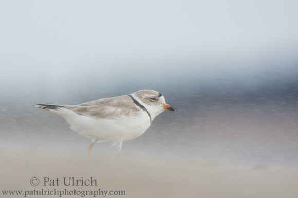 Piping plover facing a stiff wind and walking into blowing sand