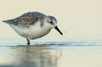 Sanderling splashes at dusk
